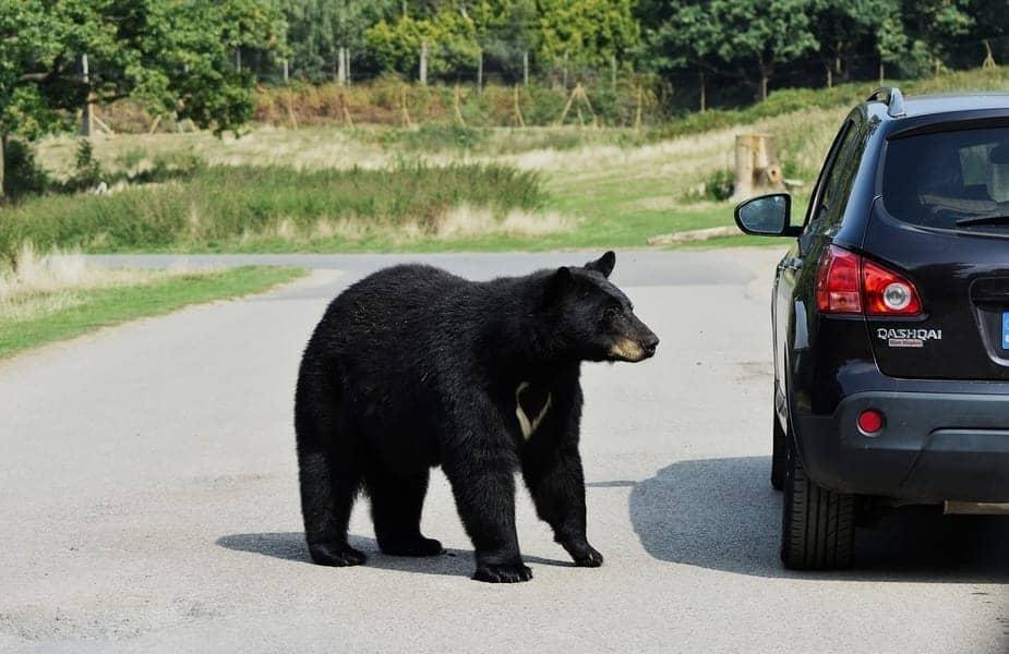 Black Bear Outside Car