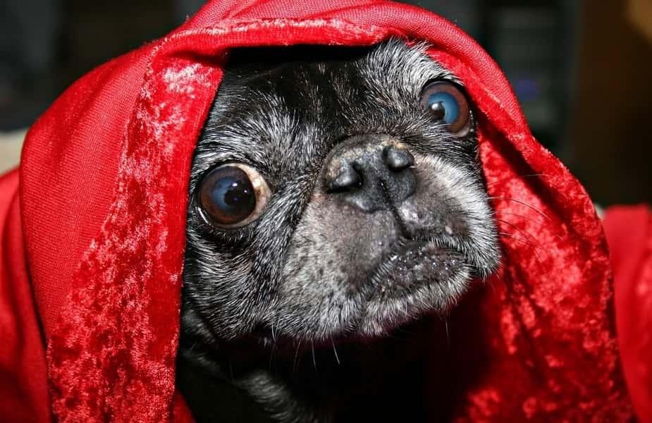 Dog Under Red Blanket