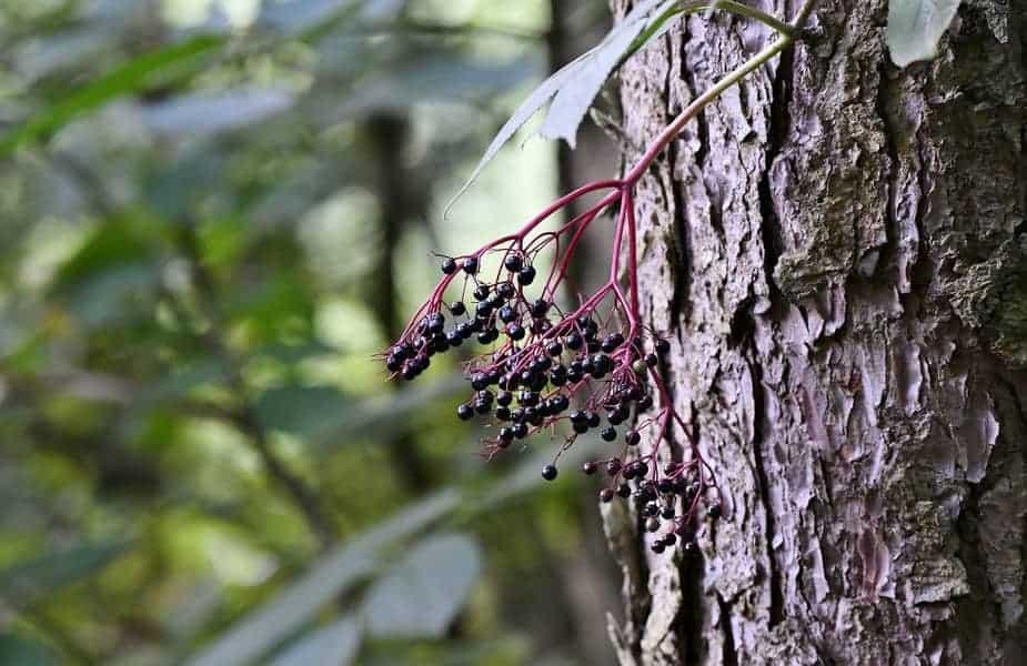 Elderberries On Tree