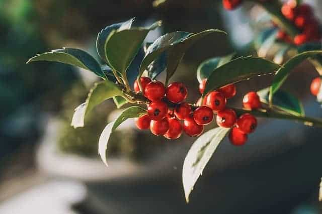 Holly-Berries-on-Bush