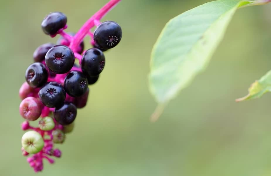 American Pokeweed Berries