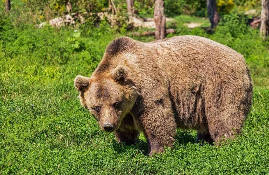 Bear in Woods Looking Threatening