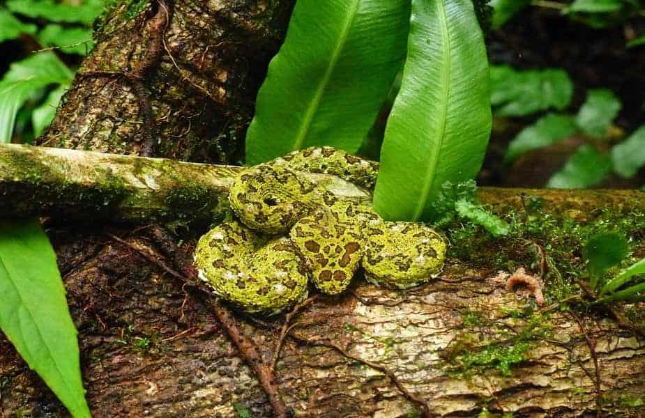 Green Fer-de-Lance Snake on a Log