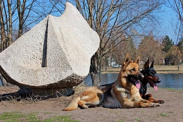 Doberman and German Shepherd Sitting by a Lake