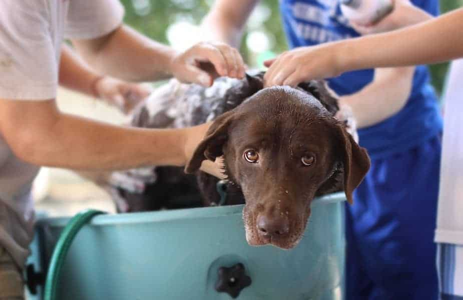 Brown Dog Being Washed in a Blue Tub by Two People