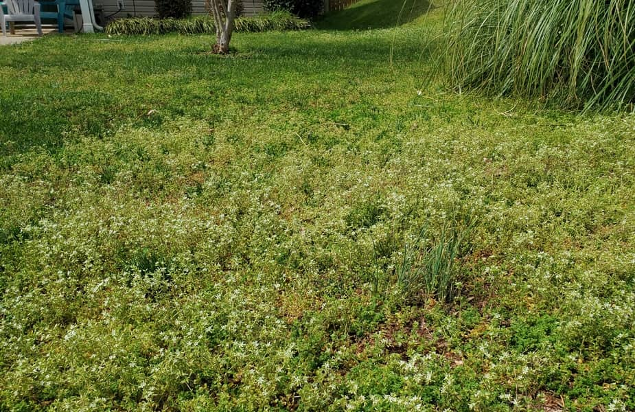Lawn with Many Weeds