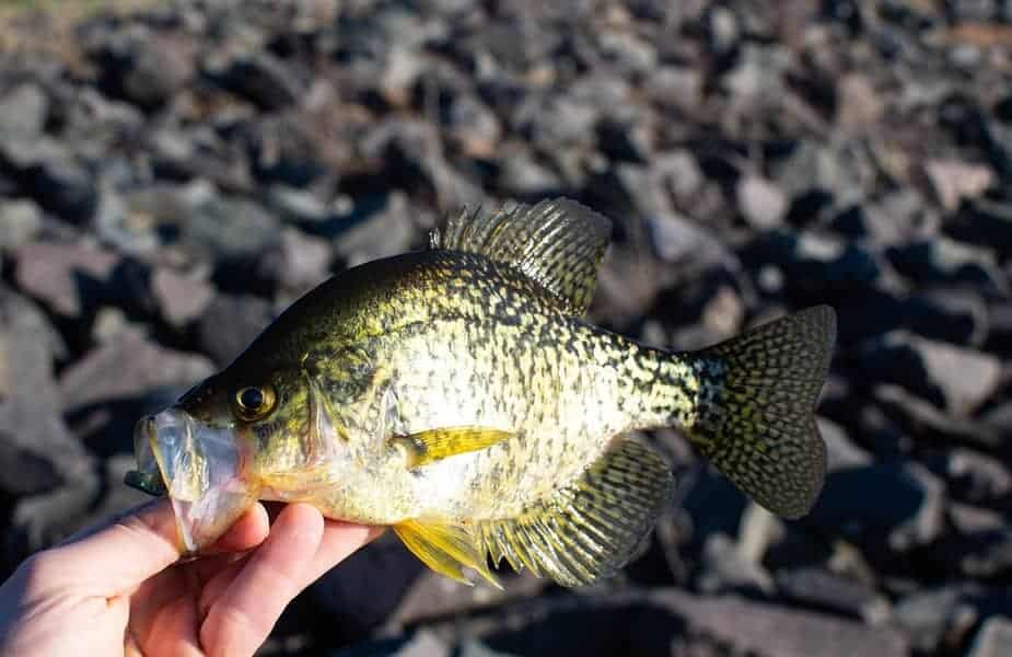 Someone Holding a Crappie or Speck